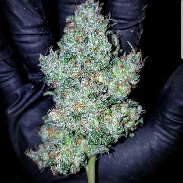 Presidential Kush Marijuana Strain