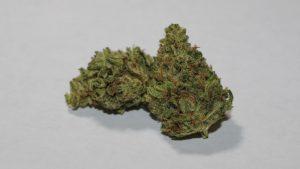 9 Pound Hammer Marijuana Strain