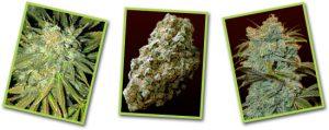 Buy Ice Wreck Marijuana Strain