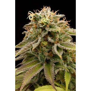 Buy Lemon Thai Marijuana Strain