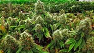 Buy Medical Cannabis Australia