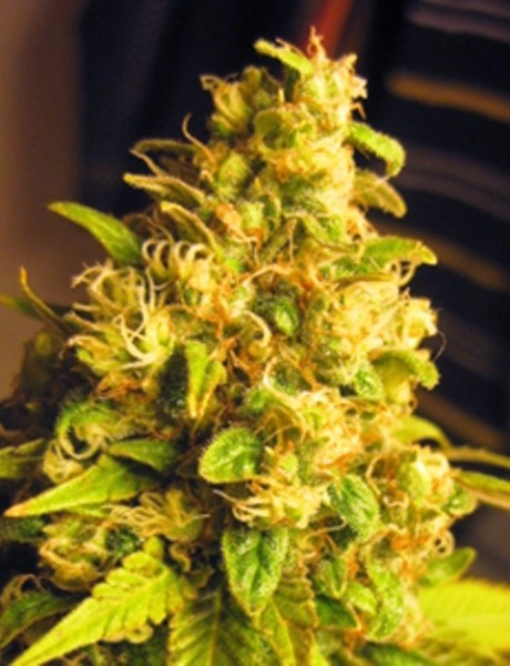 Nirvana Special Weed Strain