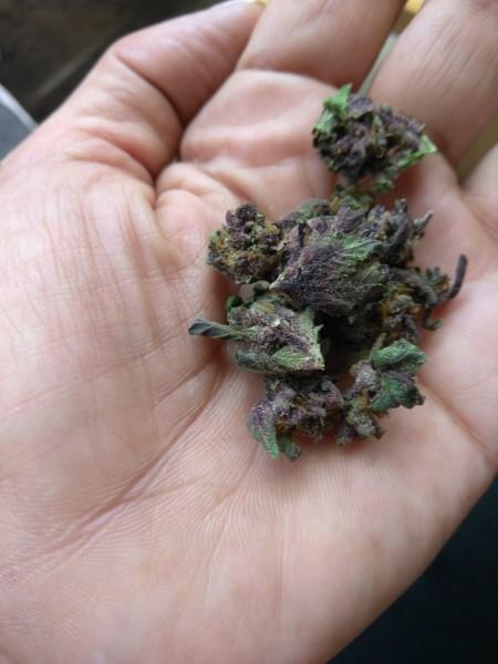 Purple Mayhem